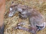 Первые часы жизни новорожденных жеребят. Часть 1
