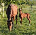 Первые часы жизни новорожденных жеребят. Часть 2
