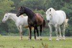 Инбридинг при разведении лошадей