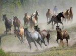 Отбор лошадей для племенной работы